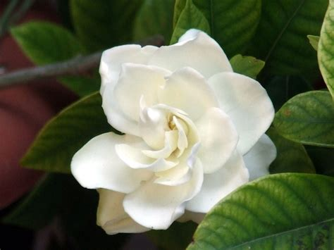 pianta con fiori bianchi tipo calla le migliori piante da appartamento con fiori idee green