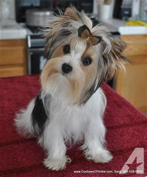 yorkie breeders san antonio akc parti colored terrier puppies for sale for sale in san antonio