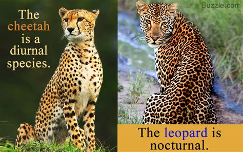 cheetah and cheetah vs leopard the differences and similarities
