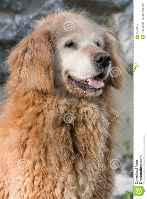 curly golden retriever curly golden retriever royalty free stock photos image 33097828