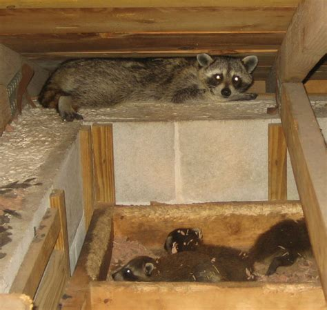 living in the attic how to get a raccoon out of an attic