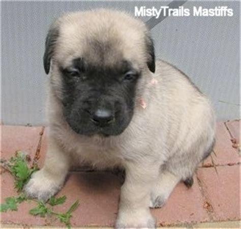 3 week puppy mastiff breed pictures 3