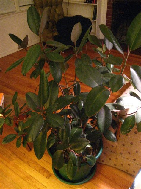 rubber plant losing leaves   leaves drop