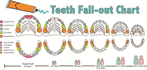 ages when baby teeth come in and fall out baby dental care london kids