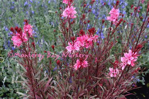 Pink Foliage Plants - monterey bay nursery plants g
