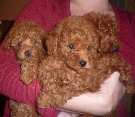 brown maltipoo puppies for sale 17 best ideas about teacup maltipoo on maltipoo puppies small dogs