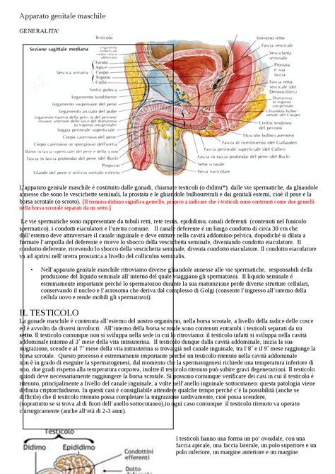 dispense anatomia apparato genitale maschile appunti di anatomia docsity