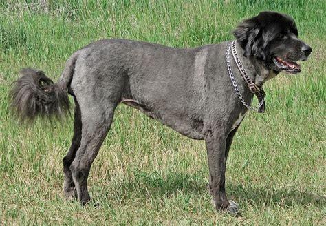 newfoundland dog summer haircuts that summer do back alley soapbox
