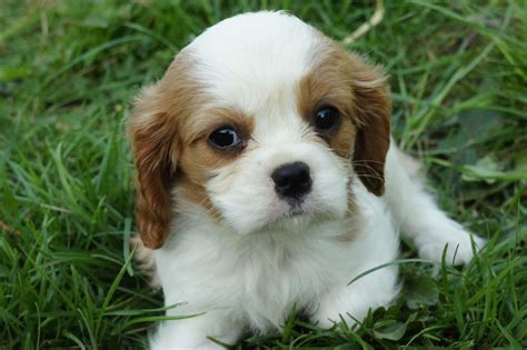 cavalier puppies cavalier king charles puppies whitchurch shropshire pets4homes