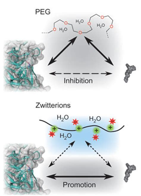 protein zwitterion zwitterion approach to stabilising proteins