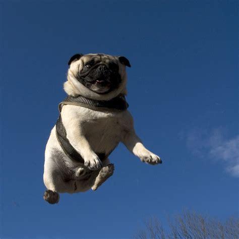 pug no flying pug 171 what no mints