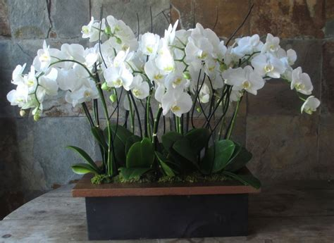 phalaenopsis orchid plants in an