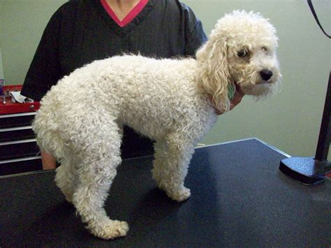 miniature french poodle hairstyles pin poodle grooming cuts on pinterest