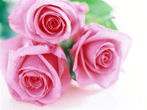 fiore rosa linguaggio dei fiori rosa linguaggio dei fiori