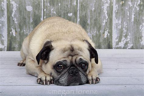 sad pug pictures sad pug flickr photo