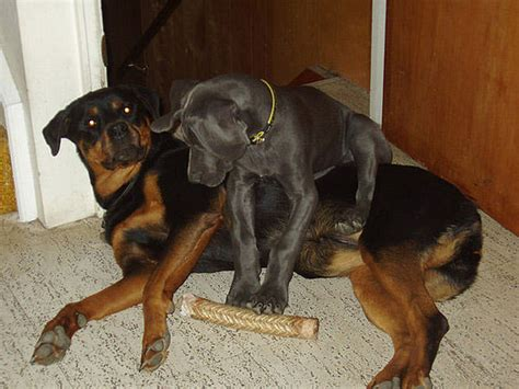 rottweiler and great dane great golly greatly growing great dane popsugar pets