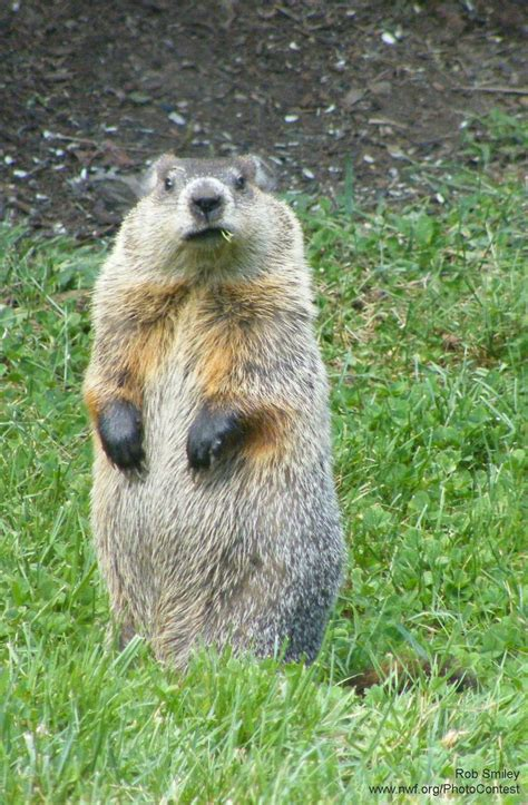groundhog day groundhog name 42 best groundhogs images on squirrels