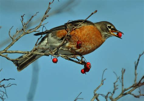 a robin eating berries by masscreation on deviantart