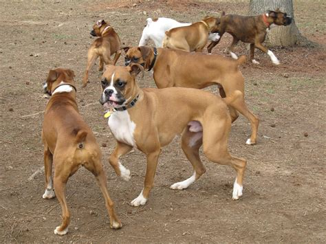 dogs 101 boxer boxer dogs breeds pets
