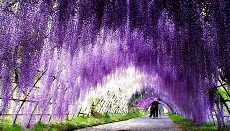 wisteria flower tunnel japan a colour lover s travel guide prinsesa s anatomy