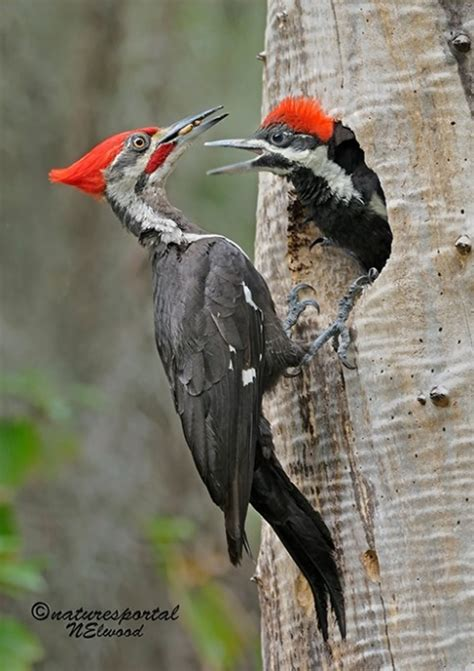 male pileated woodpecker feeding its chick nature