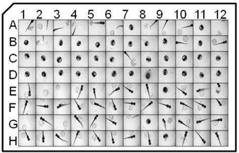 24 well plate template high content screening of zebrafish greatly speeds up