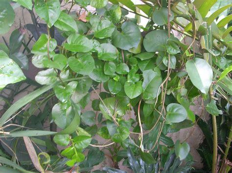 khasiat  manfaat daun binahong  obat sakit tubuh