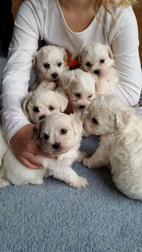 maltichon puppies maltichon puppies for sale longfield kent pets4homes