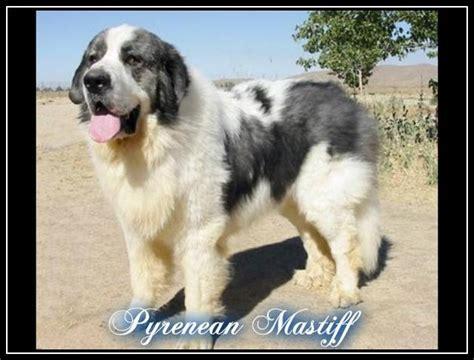 pyrenean mastiff puppies pyrenean mastiff purebreed dogs
