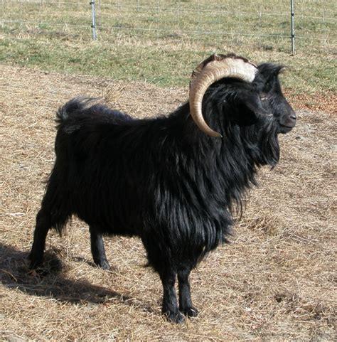 black goat black cashmere goat our farm pinterest