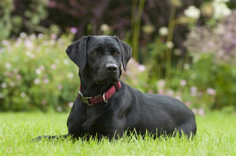 easiest dog to house train 12 easiest dog breeds to train iheartdogs com