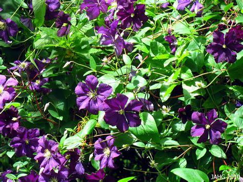 climbing vining plants name that plant