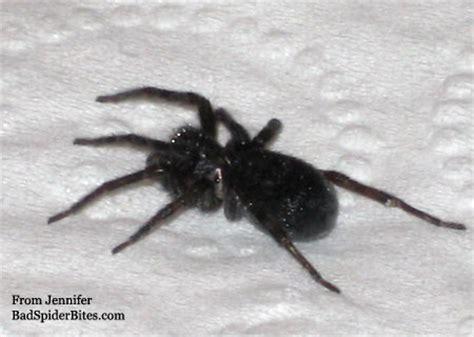big black house spider spider identification