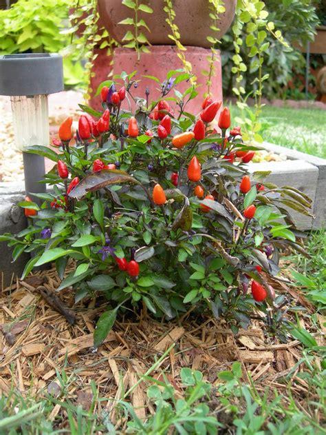 Decorative Pepper Plants by Ornamental Pepper Plant Gardening Ideas