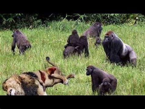 lion  gorilla  su tu  leopard  baboon real fight great animals fight  death youtube