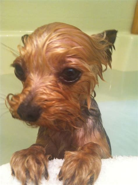 yorkies time best 25 yorkie ideas on yorkie haircuts terrier puppies and