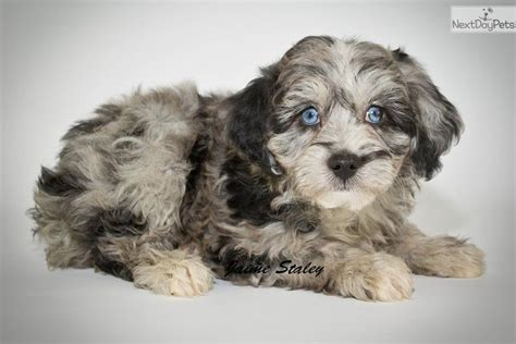 aussiepoo puppies for sale aussiedoodle puppy for sale near akron canton ohio 201645a4 a221