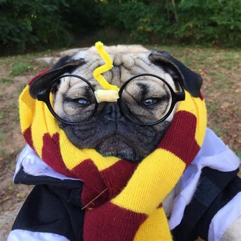 pug harry potter doug the pug le chien adepte du actualit 233 fanactu