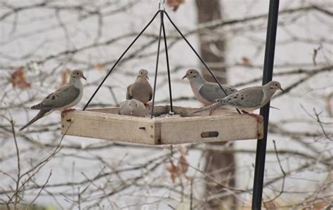 mourning doves in a tray feeder 5 05 15 feederwatch