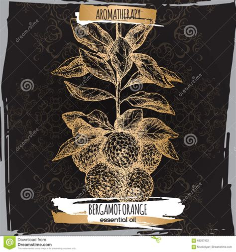 Softlens X2 Lace Black Series bergamot orange sketch on black and golden lace background stock vector illustration of
