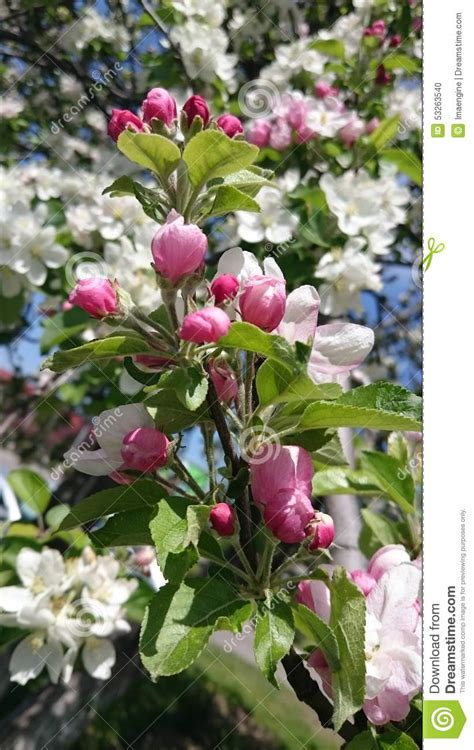 white spring blooming tree flowers and pink buds stock photo image 53263540