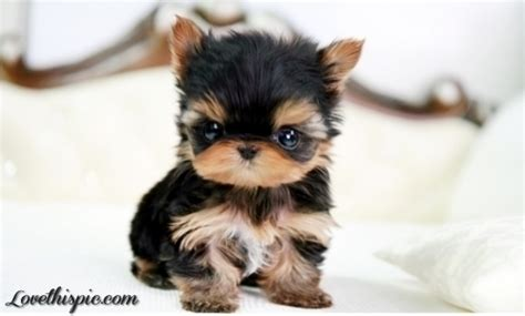 yorkies teacup teacup yorkie pictures photos and images for and