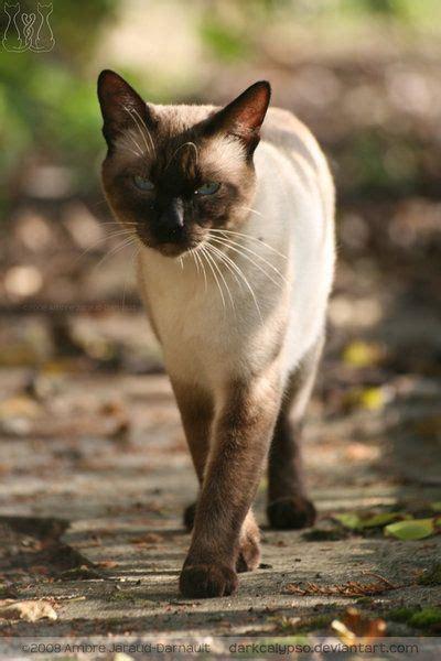thai cats maew boran images  pinterest