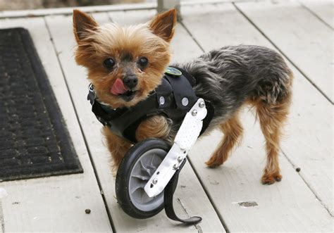 infonetorg injured animals keep moving with prosthetics