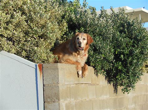 are golden retrievers guard dogs golden retriever adoption 6 crucial preparation steps