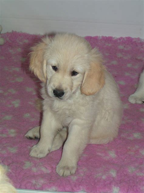 1 year golden retriever for sale golden retriever puppy for sale southport merseyside pets4homes