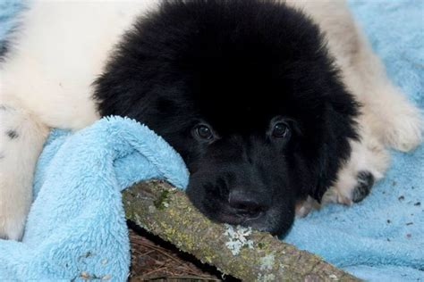 newfoundland puppies oregon 358 best images about notta newfoundland dogs it s a on