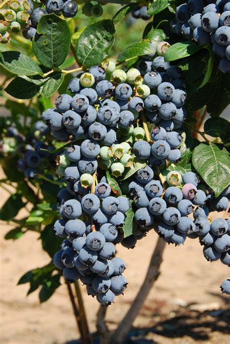 premier rabbiteye blueberry plant ison s nursery vineyard