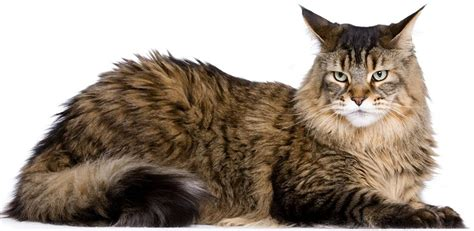 maine coon cat breed the maine coon cat cat breeds encyclopedia
