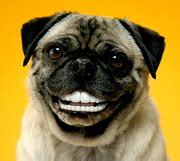pug teeth problems say cheese caring for your s teeth 101